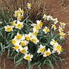 Japanese Garden - Daffodils - Norfolk Botanical Gardens