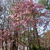 Saucer Magnolia - Winter Garden - Norfolk Botanical Gardens