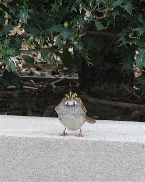 White-throated Sparrow Under Holly Outside Chrysler Museum of Art - Norfolk, VA    1-13-07