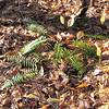 Pretty Patch of Ferns in March - Occoneechee State Park - Clarksville, Virginia