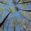 Looking Up - Trees Are Coming Into Spring - Occoneechee State Park - Clarksville, Virginia
