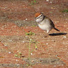 Adult Breeding Chipping Sparrow - Occoneechee State Park - Clarksville, Virginia