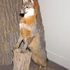 Precious Grey Fox - Occoneechee State Park - Clarksville, Virginia