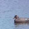 Female Mallard Duck - Occoquan Bay NWR