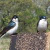Tree Swallows - Occoquan Bay NWR