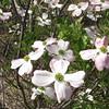 Closeup of Pink Dogwood Flowers - Occoquan Bay NWR