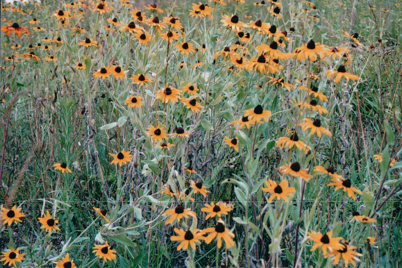 Black-eyed Susans in Meadow - Old City Cemetery - Lynchburg, VA  6-30-02