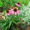 Echinacea - Purple Coneflower - Medicinal Herb Garden at Pest House Medical Museum - Old City Cemetery - Lynchburg, VA