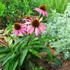 "Echinacea - Purple Coneflower - Medicinal Herb Garden at Pest House Medical Museum - Old City Cemetery - Lynchburg, VA <a href=""http://www.theherbsplace.com/Echinacea_Purpurea_180_Capsules_p_394.html""><b>Echinacea purpurea</b></a> shows many health benefits. It's used to reduce symptoms of cold, flu, sore throat, fever, and cough. It's highly recommended for treatment against infection as it boosts the immune system.  It has also been used to reduce inflammation and for pain relief."