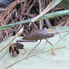 Leaf-footed Bug (Leptoglossus oppositus) - Notice His Back Legs That Look Like They Have Leaves on Them - Pleasant Grove Trail - Palmyra, VA  9/5/10