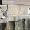 Ring-billed Gull with Somebody Trying to Impress Her - Historic Seaport, Portsmouth, VA  4-10-11