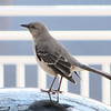 Northern Mockingbird - Historic Seaport, Portsmouth, VA  4-10-11