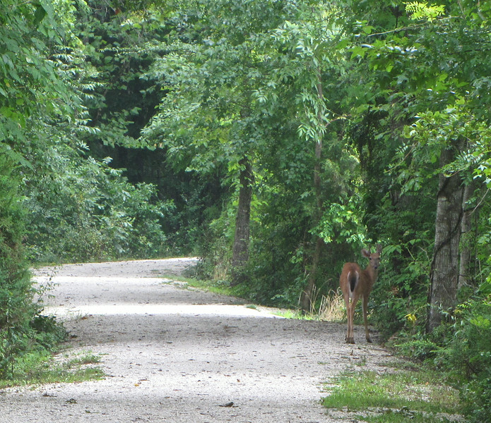 Deer Discovers He's Got Company - Sarah Terry Trail at Wilck's Lake - Farmville, VA