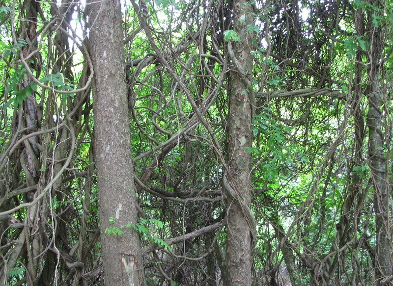 Too Many Invasive Vines Strangling the Trees - Sarah Terry Trail at Wilck's Lake - Farmville, VA
