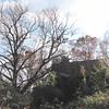 Chestnut Tree Beside Falling House - Scheier Natural Area, Fluvanna County, VA 11-16-09