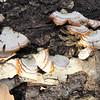 Wood Fungus on Fallen Tree - Scheier Natural Area, Fluvanna County, VA 11-16-09