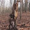 Unusual Design on Decaying Tree - Scheier Natural Area, Fluvanna County, VA 11-16-09