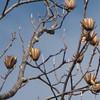 Tulip Poplar - Scheier Natural Area, Fluvanna County, VA 11-16-09