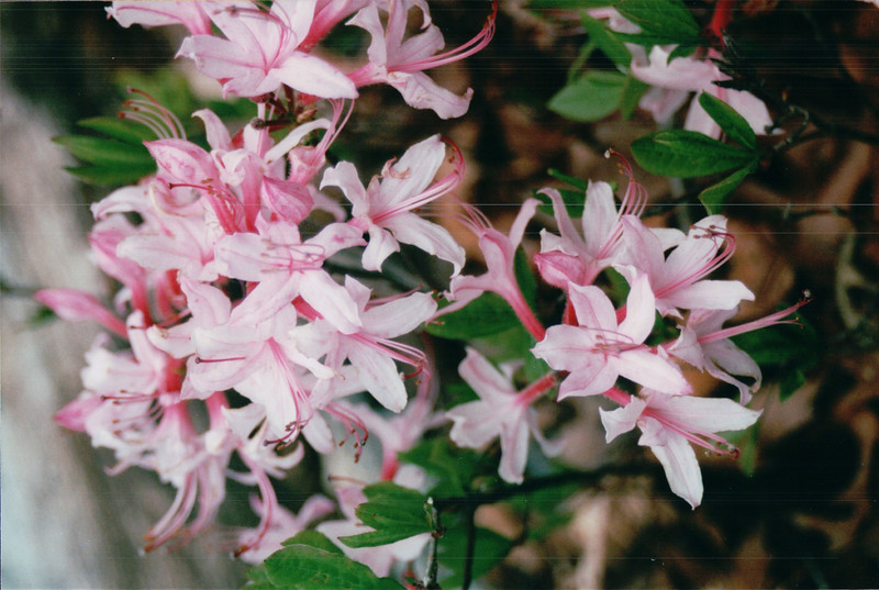 Native Pinkster Azalea - Scheier Natural Area  4-26-02