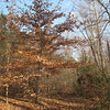 Beech Tree Along The Trail - Scheier Natural Area, Fluvanna County, VA 11-16-09
