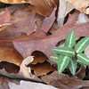Spotted Wintergreen on Forest Floor - Scheier Natural Area, Fluvanna County, VA 11-16-09