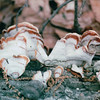 Fungus on Fallen Tree - Scheier Natural Area  4-26-02