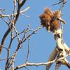 Chestnuts in Tree - Scheier Natural Area, Fluvanna County, VA 11-16-09