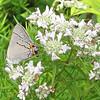 Gray Hairstreak Butterfly (Strymon melinus) - Big Meadows Byrd Visitor Center - Shenandoah NP, VA