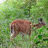 Deer at Edge of Woods - Big Meadows - Shenandoah National Park - Milepost 51<br /> This deer wandered right by us as the Ranger was speaking to the group.  White-tailed Deer were reintroduced in Shenandoah once the park was created (in the 1930s) after having been heavily hunted in the region. A few thousand white-tailed deer now call Shenandoah National Park home. Big Meadows is a popular place to spot deer at both sunrise and sunset, as they enjoy the tall grasses. Baby fawns are born every year in late May and early June in Big Meadows. The young fawns tend to hide in the grasses for much of the day while their mother feeds. When the mother returns, the fawns can be seen prancing and feeding.