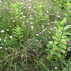 Milkweed, Yarrow, Grasses and Spotted Knapweed (Pink Invasive) in Big Meadows - Shenandoah National Park - Milepost 51