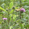 Male Eastern Tiger Butterfly on Thistle - Big Meadows - Shenandoah National Park - Milepost 51