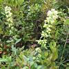 Unknown Wildflower - Big Meadows - Shenandoah National Park - Milepost 51
