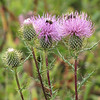 Thistle with Bees - Big Meadows - Shenandoah National Park - Milepost 51