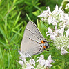 Closeup of Gray Hairstreak Butterfly (Strymon melinus) - Big Meadows Byrd Visitor Center - Shenandoah NP, VA - Version 2