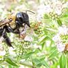 Closeup of Bee on MInt - Big Meadows Byrd Visitor Center - Shenandoah NP, VA