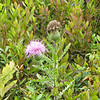 Blooming Thistle - Big Meadows - Shenandoah National Park - Milepost 51<br /> I believe this is Bull Thistle.  The plants around it are blueberry bushes.