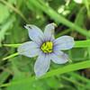 Blue-eyed Grass - Sisyrinchium montanum - Rapidan Camp or Herbert Hoover's Camp - Shenandoah Nat'l Park  6-10-10