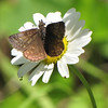 Butterfly on Oxeye Daisy - Rapidan Camp or Herbert Hoover's Camp - Shenandoah Nat'l Park  6-10-10