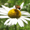 Rear View of Bee on Oxeye Daisy - Rapidan Camp or Herbert Hoover's Camp - Shenandoah Nat'l Park  6-10-10