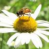 Bee on Oxeye Daisy - Rapidan Camp or Herbert Hoover's Camp - Shenandoah Nat'l Park  6-10-10