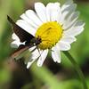 Butterfly on Daisy - Rapidan Camp or Herbert Hoover's Camp - Shenandoah Nat'l Park  6-10-10