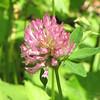 Red Clover Bloom - Rapidan Camp or Herbert Hoover's Camp - Shenandoah Nat'l Park  6-10-10