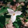 Trillium - The Park's Signature Flower - Skyline Drive  5-8-02<br /> Scanned Print