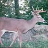 Male Deer - Skyline Drive, Shenandoah National Park 9-22-01<br /> Scanned Print
