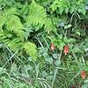 Ferns and Wild Columbine - Skyline Drive - Shenandoah National Park, Virginia