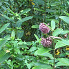 Common Milkweed in Bloom - Skyline Drive - Shenandoah National Park, Virginia<br /> Notice the Eastern Tiger Swallowtail on the plant?