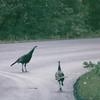 Wild Turkeys - Skyline Drive, Shenandoah National Park 9-22-01<br /> Scanned Print
