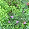 Spotted Knapweed - An Invasive - Skyline Drive - Shenandoah National Park, Virginia