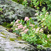 Closeup of Sedum, Moss and Lichen on Rocks on Skyline Drive - Shenandoah National Park, Virginia