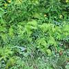 Flowers and Ferns - Skyline Drive - Shenandoah National Park, Virginia